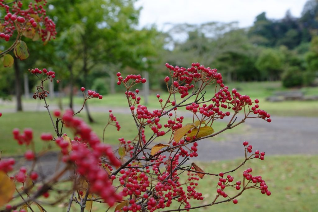 Red berries in front of green woods