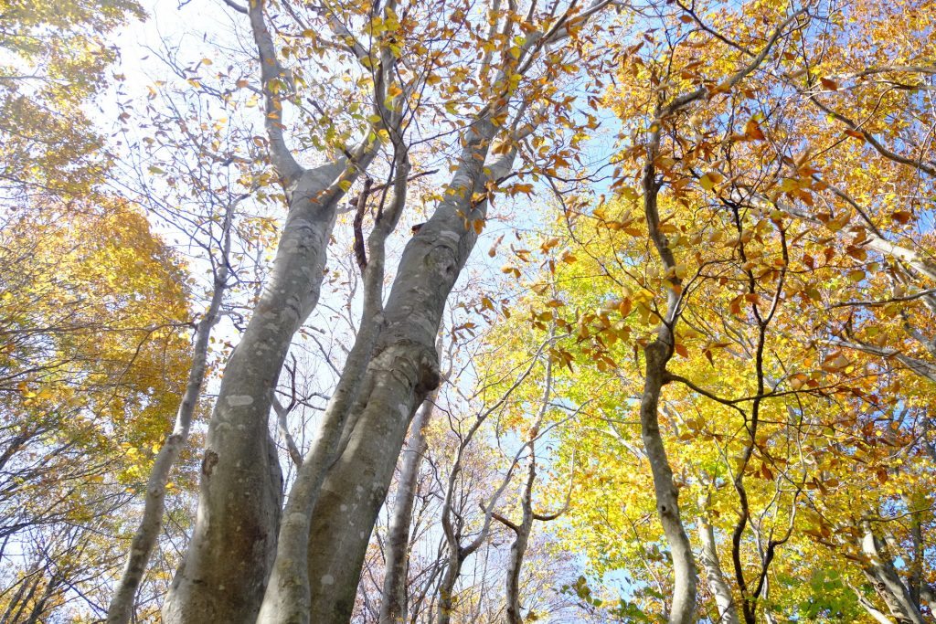 Beech tree forest Iouzen