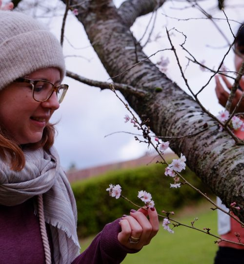 Discovering cherry blossoms